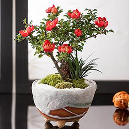 敬老の日 盆栽「五福を願う長寿梅」