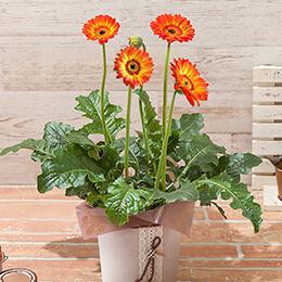 敬老の日 鉢植え「ビタミンカラーの大輪ガーベラ」