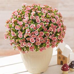 敬老の日 鉢植え「八重咲きカリブラコア ティフォシーダブル」