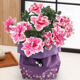 敬老の日 鉢植え「八重咲きアザレア 巾着袋入り」