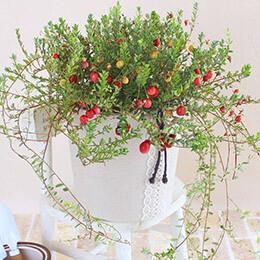 敬老の日 鉢植え「秋を感じるクランベリー」
