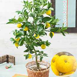 敬老の日 鉢植え「柚寿〜健康と長寿の願いを込めて〜」