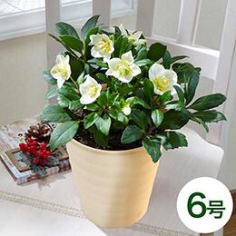 鉢植え「クリスマス・ローズ(6号)」