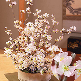 お正月 みちのく初桜 〜啓翁桜〜M