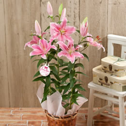 鉢植え「オリエンタルリリー ソルボンヌ~甘い香りに包まれて~」