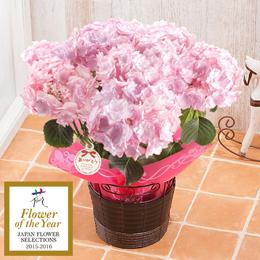 鉢植え「アジサイ KEIKO~フラワー・オブ・ザ・イヤー受賞」