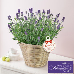 鉢植え「ラベンダー アロマティコ(R)~上質な香りの贈り物」