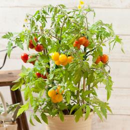 e87.com(千趣会イイハナ)【父の日特集】鉢植え「ミニトマト レインボーガーデン=3品種寄せ植え=」