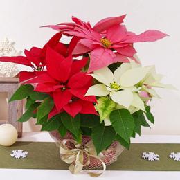 EX鉢植え「ミックス・クリスマス(7号)」
