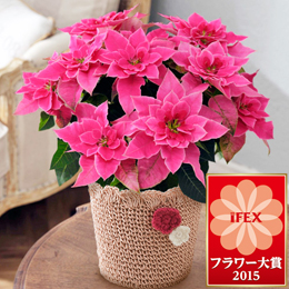 鉢植え「バラ咲きプリンセチア〜プリンセチアローザ〜」