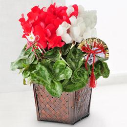 お正月 鉢植え「お祝いにぴったりの紅白シクラメン〜お正月バージョン〜」
