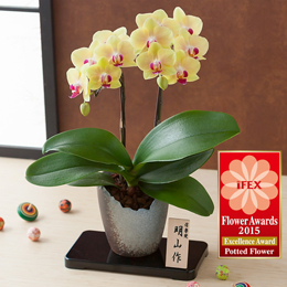 お正月 鉢植え「胡蝶蘭和風仕立て〜キロロ〜」