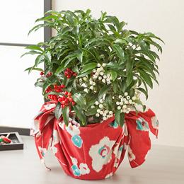 お正月 鉢植え「長寿夫婦万両」