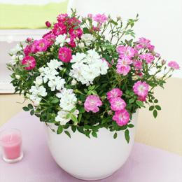 寄せ植え「Welcome ROSE〜キュートなお花畑〜」