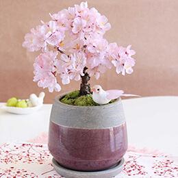 盆栽「はんなり桜」