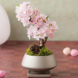 盆栽「SAKURAの舞」
