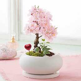 盆栽「ハートにサクラ咲く」