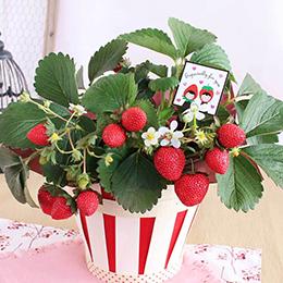 鉢植え「恋するストロベリー」
