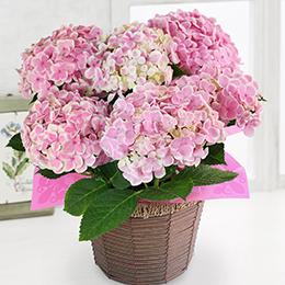 鉢植え「アジサイ ありがとう(ピンク)」