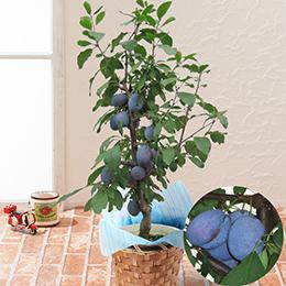 EX鉢植え「プルーン」