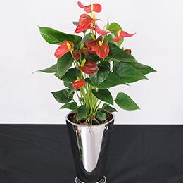 鉢植え「アンスリウム」