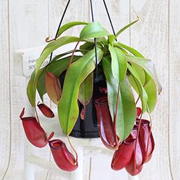 鉢植え「不思議プランツ ウツボカズラ」