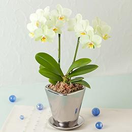 鉢植え「テーブル胡蝶蘭 カーリー」