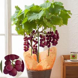 鉢植え「巨峰〜収穫の喜びギフト〜」