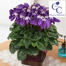 鉢植え「シクラメン 冬化粧」