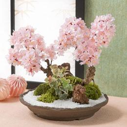 【最速で翌日配送対応】盆栽「春の訪れ 和み桜」