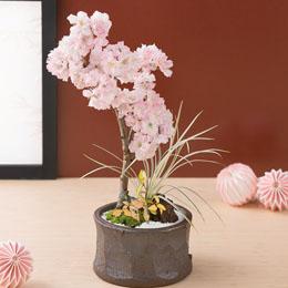 【最速で翌日配送対応】盆栽「京のかおり=南殿桜=」