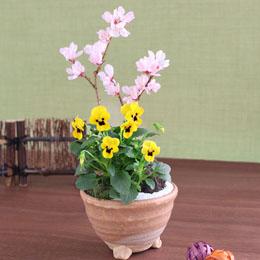 【最速で翌日配送対応】盆栽「富士に春を告げる富士桜」