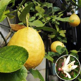 記念樹・シンボルツリー「トゲなしレモン」