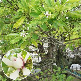 記念樹・シンボルツリー「四季咲き・オガタマの木(招霊の木)」