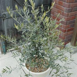 記念樹・シンボルツリー「オリーブの木」