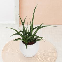 観葉植物「サンスベリア ファーンウッド」