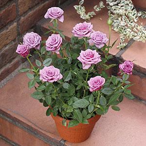 バラ鉢植え「ブルーオベーション」