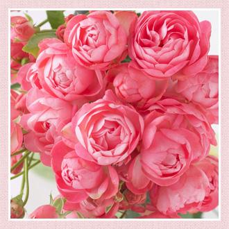 バラの種類 ミニバラ