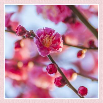 梅の画像 p1_29