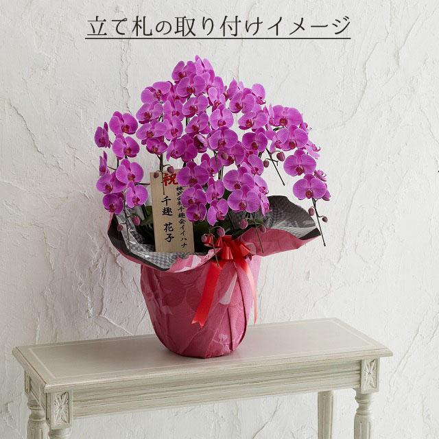 鉢植え「大輪胡蝶蘭7本立ち(赤リップ)」