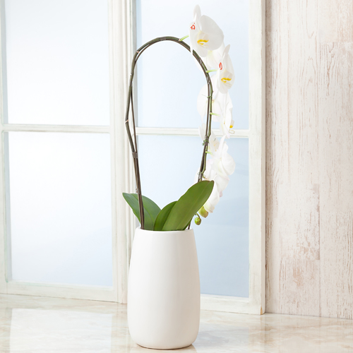 鉢植え「メッセージ胡蝶蘭」