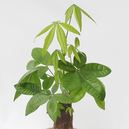 観葉植物「パキラ」7号