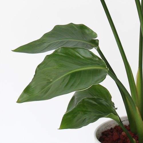 観葉植物「オーガスタ」6号