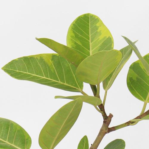 観葉植物「フィカス・アルテシマ」6号