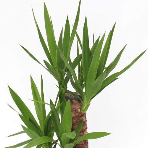 観葉植物「ドラセナ・ユッカ」6号