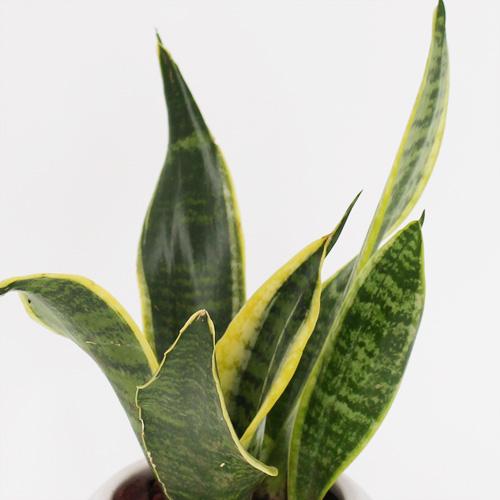 観葉植物「サンスベリア インディアナ」