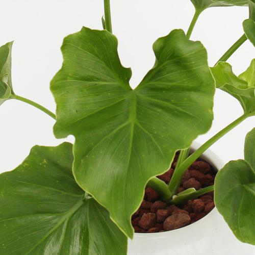 観葉植物「セローム」