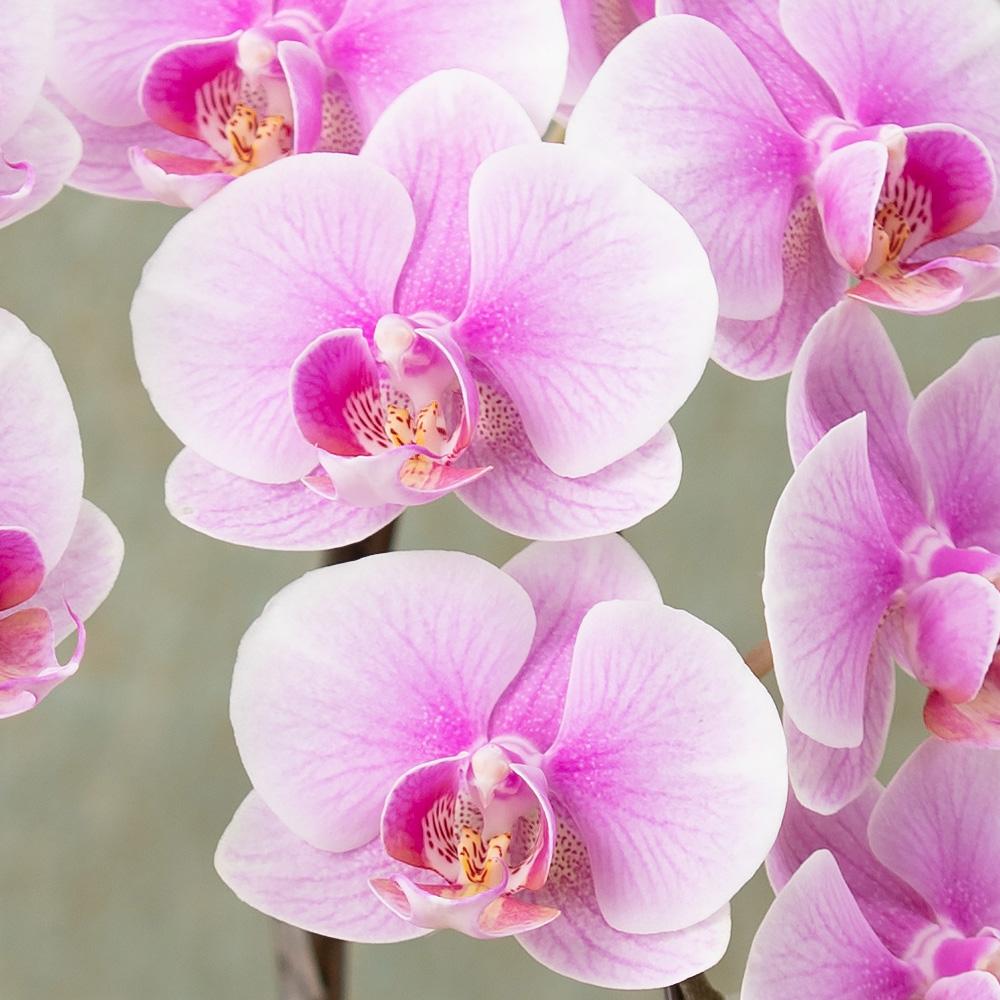 【イイハナ】鉢植え「長寿を祝う胡蝶蘭~茜~」│花 ...