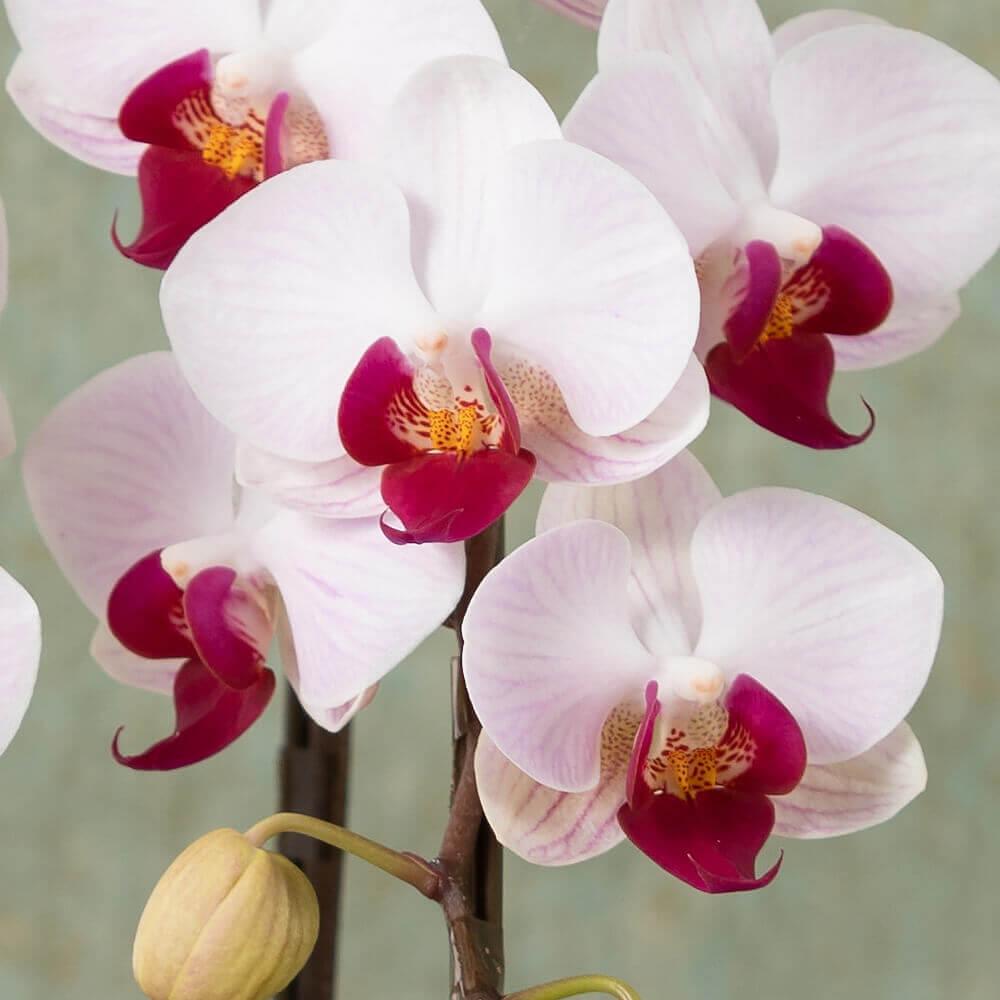 鉢植え「長寿を祝う胡蝶蘭〜葡萄〜」
