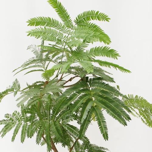 観葉植物「エバーフレッシュ8号 バスケット」